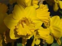 Jonquilles d'un jaune de plan rapproché en plan rapproché et dans le contraste Photographie stock libre de droits