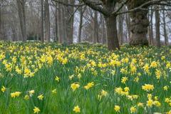 Jonquilles dans des collines et des jardins de Surrey Image stock