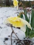 Jonquilles dans la neige images libres de droits