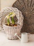 Jonquilles dans un panier blanc et une boîte d'arrosage décorative image stock