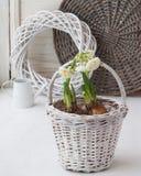 Jonquilles dans un panier blanc et une boîte d'arrosage décorative image libre de droits