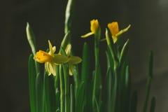 Jonquilles dans un pot de fleur Carte de voeux de source Photo libre de droits