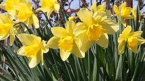Jonquilles de floraison dans le jardin banque de vidéos