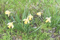 Jonquilles de floraison s'élevant dans le jardin naturel Jonquilles au printemps Images libres de droits