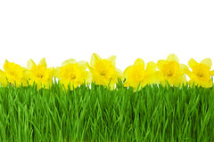 Jonquilles de frontière/jaune de ressort et herbe verte d'isolement sur le whi photos libres de droits
