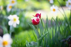 Jonquilles de lits de fleur, tulipes, petite profondeur de champ Images libres de droits