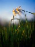 Jonquilles de source dans la lumière chaude du coucher du soleil. Images libres de droits