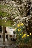 Jonquilles et fleur sur la berge Photo libre de droits