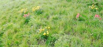 Jonquilles et tulipes sur un fond herbeux 2 photo libre de droits