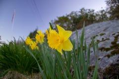 Jonquilles fleurissant à midi par une colline en pierre image stock