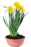 Jonquilles jaunes Images stock