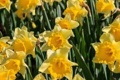 Jonquilles jaunes photos libres de droits