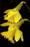 Jonquilles jaunes avec des gouttelettes d'eau photo libre de droits