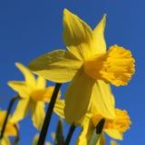 Jonquilles jaunes avec le fond de ciel bleu image stock