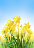 Jonquilles jaunes contre un ciel bleu photo libre de droits