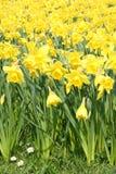 Jonquilles jaunes dans le printemps Photographie stock