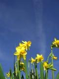 Jonquilles jaunes et ciel bleu Image stock