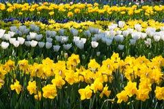 Jonquilles jaunes et tulipes blanches chez le Keukenhof, photos libres de droits