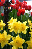 Jonquilles jaunes et tulipes rouges Image stock