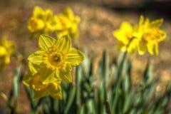 Jonquilles jaunes sur Sunny Day Image libre de droits