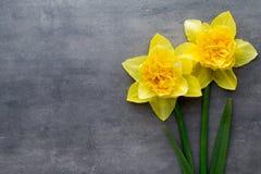 Jonquilles jaunes sur un fond gris Carte de voeux de Pâques Images stock