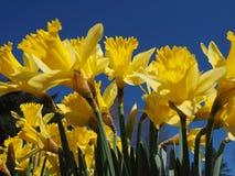 Jonquilles jaunes un matin de ressort en soleil Photo stock
