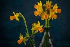 Jonquilles miniatures jaunes Photographie stock libre de droits