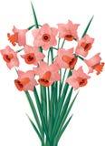 jonquilles Orange-roses Sur le fond blanc Photo stock
