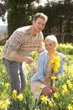 Jonquilles romantiques de source de cueillette de couples Photo stock