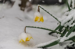 Jonquilles Snowcovered photos stock