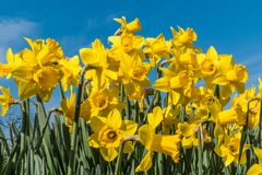 Jonquilles tenant au printemps le soleil grand Photographie stock libre de droits