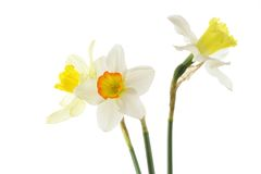 Free Jonquils Stock Image - 2440821