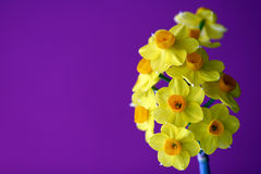 jonquils fotografia royalty free