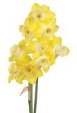 Jonquils gialli e bianchi isolati su bianco Fotografia Stock Libera da Diritti