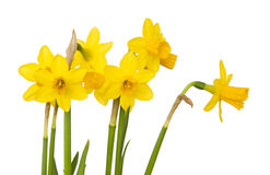 Jonquils Stock Photos