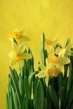 Jonquils jaunes en jaune photos stock