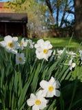 Jonquils. Narcissus jonquils flowers spring  trees stock image
