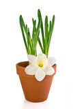 Jonquils saplings in a pot and flower. Jonquils saplings in a clay pot and flower Royalty Free Stock Images