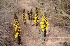 Jopo koloru żółtego baranek Obraz Royalty Free