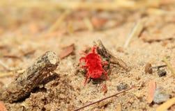 Jord färger - röd sammetregnTick Arkivfoto