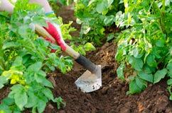 Jorda en kontakt upp av potatisväxter Fotografering för Bildbyråer