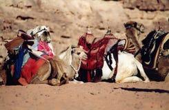 Jordan. Camels in desert Royalty Free Stock Photos