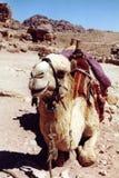 Jordan. Lazy camel Royalty Free Stock Photos