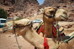Jordan: Camel Buddies Stock Images