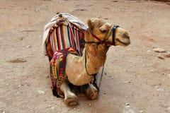 Jordan, camel - dromedary. Jordan, camel for ride, a traditional mode of transport stock images