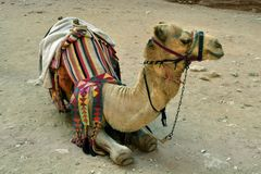 Jordan, Camel with saddle for riding. Jordan, camel with saddle, traditional mode of transport in Middle East stock images