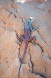 Jordan, Middle East, lizard, desert, animal. Jordan, 05/10/2013: a Sinai agama, the blue lizard, an agamid lizard found in the arid areas of Middle East Stock Photography