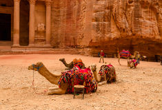 Jordan, Petra. Camels near the treasury Stock Images