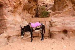 Jordan, Petra. Donkey as local transportation Stock Image
