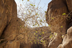 Jordan. Petra. A dry tree with a few leaves Stock Images
